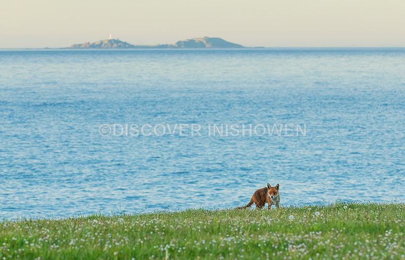 Fox at Malin Head - Wildlife