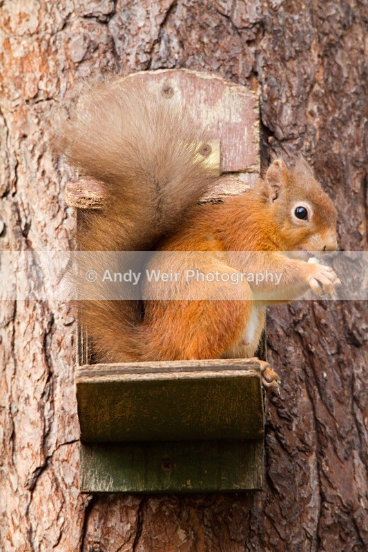 20101026_2587 - Red Squirrel