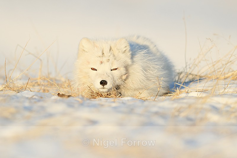 Arctic Fox resting, Svalbard, Norway - Arctic Fox