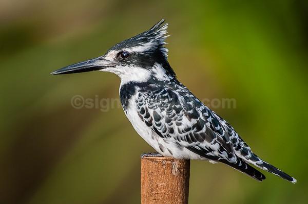 Pied Kingfisher, Nairobi, Kenya