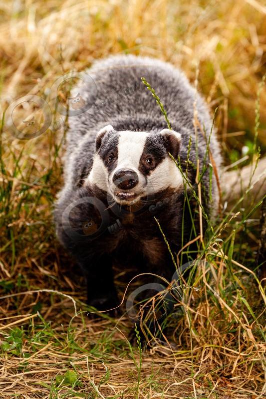 badger Meles meles-6104 - UK Wildlife