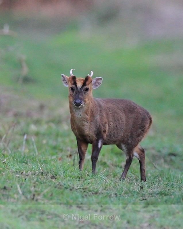 Muntjac Deer on the Roman Road at Otmoor - Deer