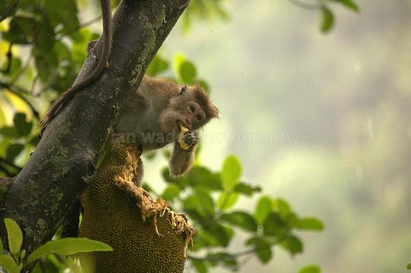 Macaque Monkey in Jungle in Ella Sri Lanka 8 - Sri Lanka wildlife, people & places