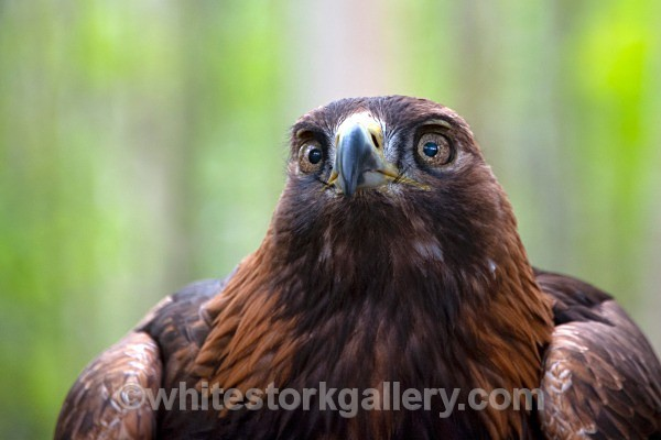 Golden Eagle - Wildlife and Animals