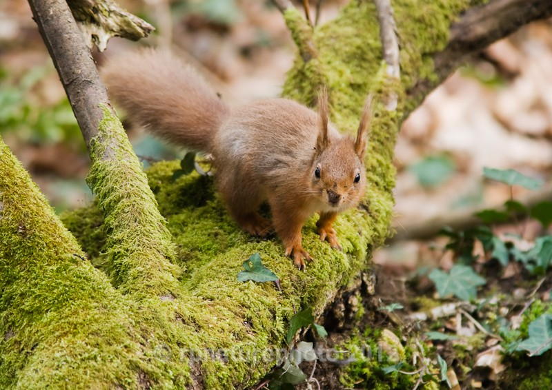 Red Squirrel - Sciurus vulgaris RPNP0034 - Mammals