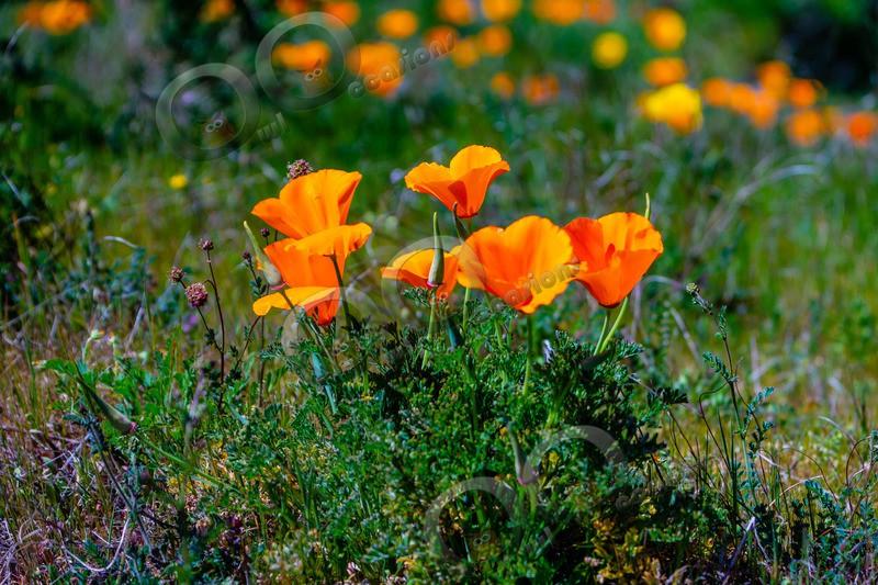 Californian poppy Eschscholzia californica-5520 - Plants and trees