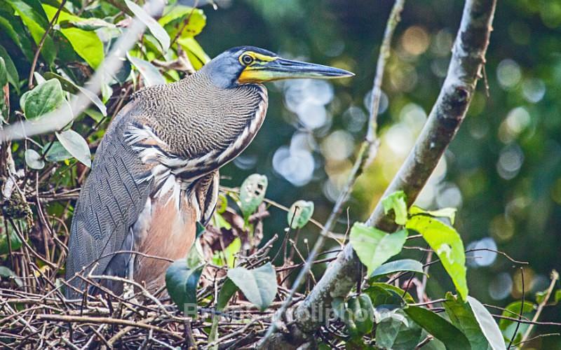 Tiger Heron Costa Rica - Costa Rican Wildlife