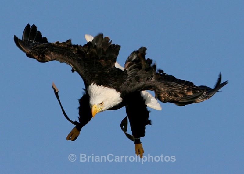 American Bald Eagle - Wildlife