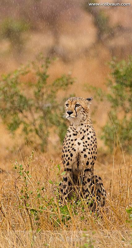 Rainy Day - Cheetah