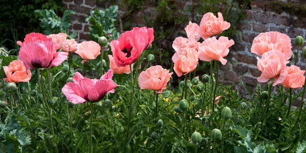 Red Poppies - Plants and Flowers