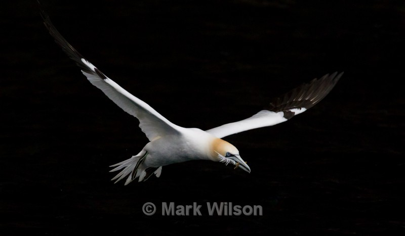 Gannet - Seabirds