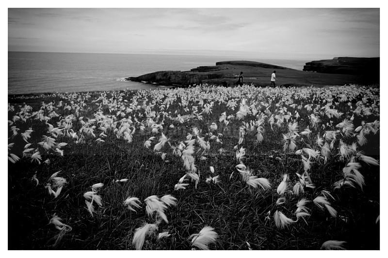 Bog Cotton - Orkney 2016