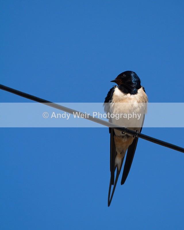 20110428-IMG_5145 - Swallows, Swifts & Martins