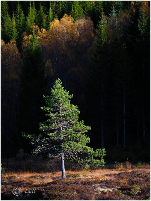 Furu 20101008-IMG_0706 - Natur