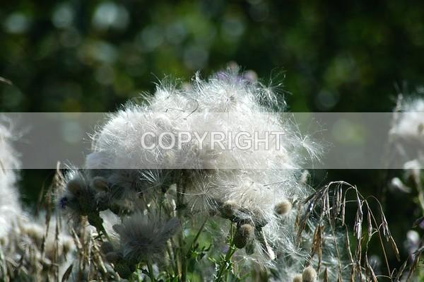 Canadian Thistle - CDSC-0170-1 - The Flower Shop