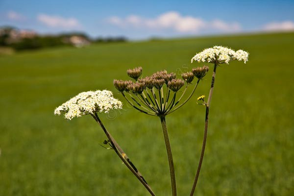 Cow Parsley - Latest Pictures