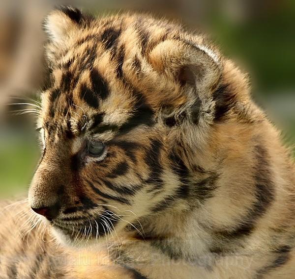 289 TROY@5WKS - BIG CATS