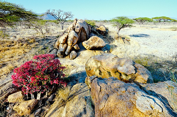 Desert Rose, Shaba National Reserve, Kenya