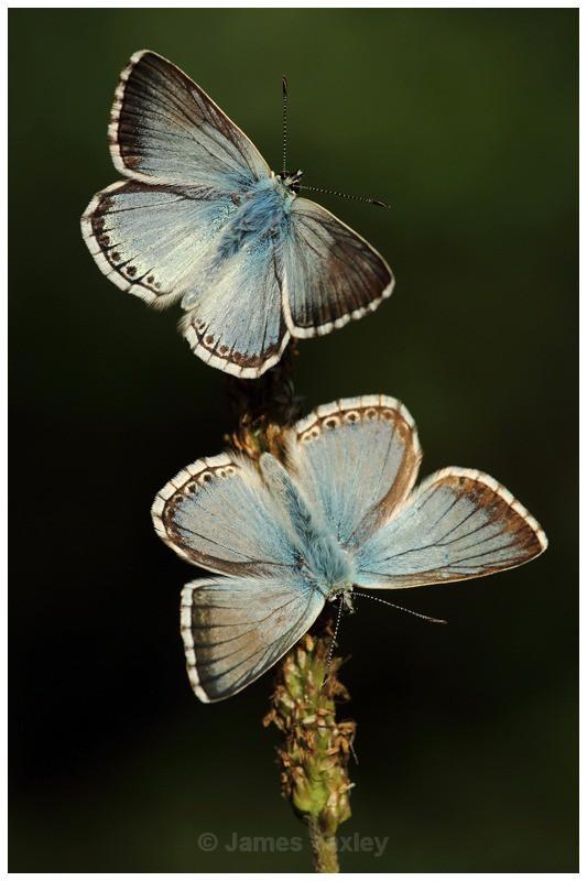A Couple of Chalk-hill Blues - Butterflies, Dragonflies and Demoiselles