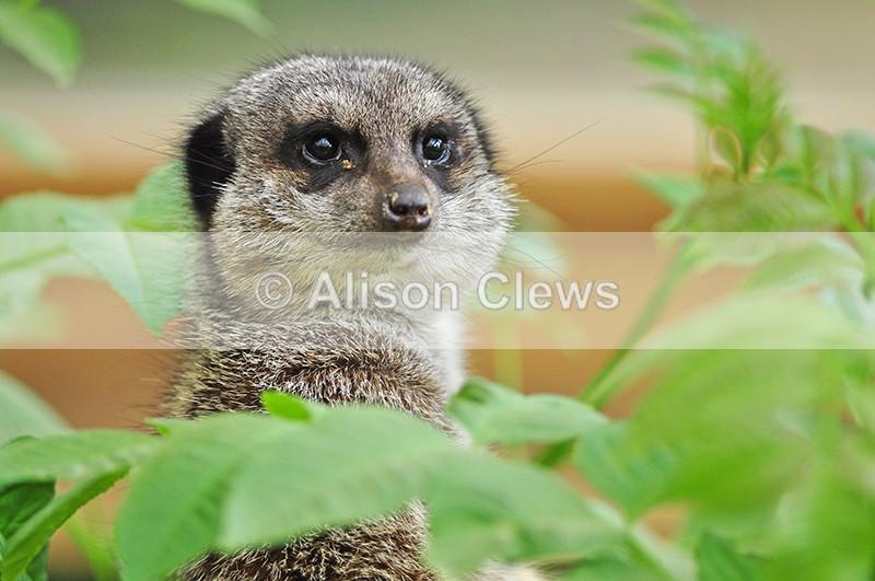 Meerkat 2 - Wildlife