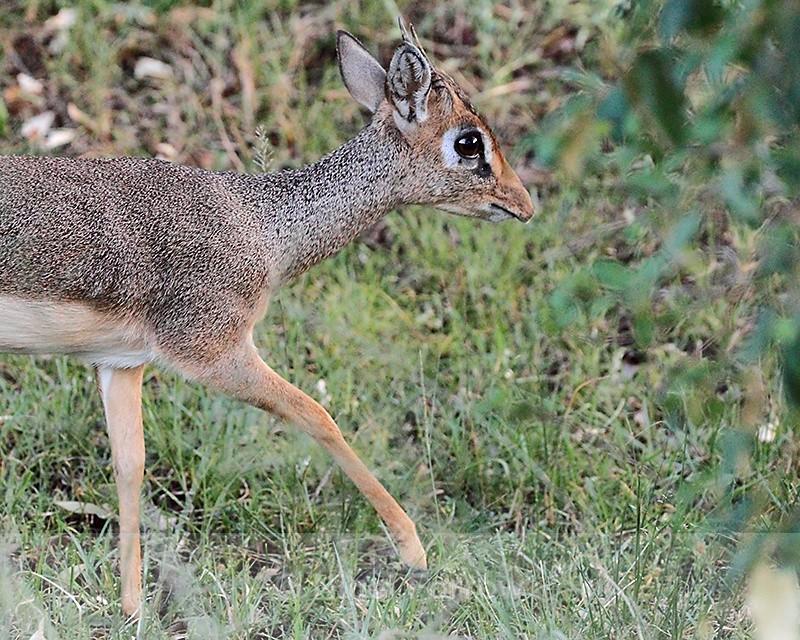 Close-up of Kirk's Dik-dik - Antelope