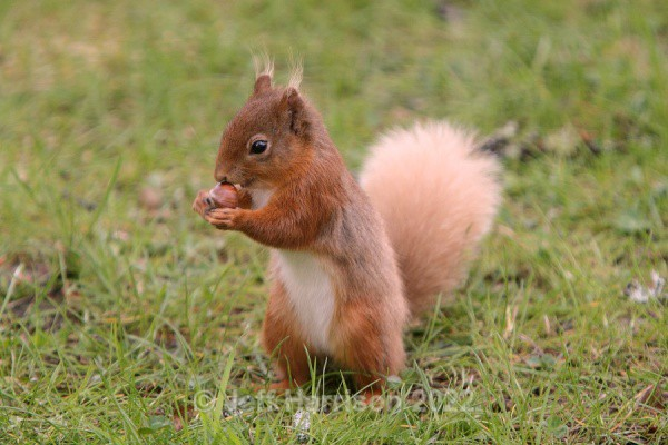 Red Squirrel (RS 06) - Mammals