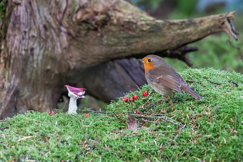 Robin wonders - Life on Man