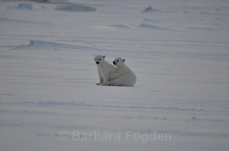 Polarbear cubs 6 - Latest Photos