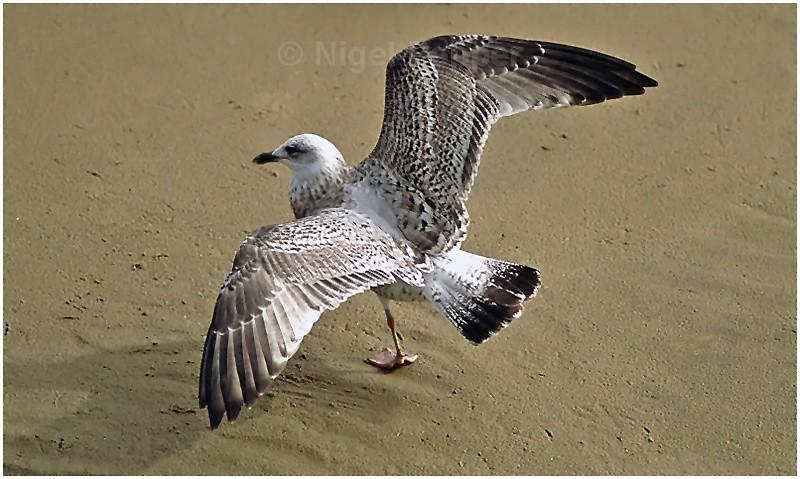 September 23rd 2004 - Leggy the Herring Gull