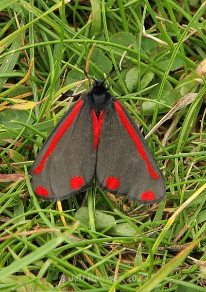 Cinnabar moth (image Moth 001) - Butterflies & Moths