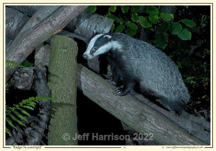 Climbing Badger (image Badg 007) - Mammals