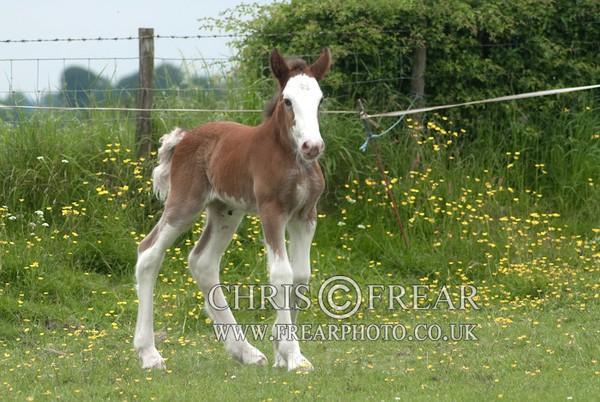 ryecroft-19 - Clydesdales 2013 Include Foals
