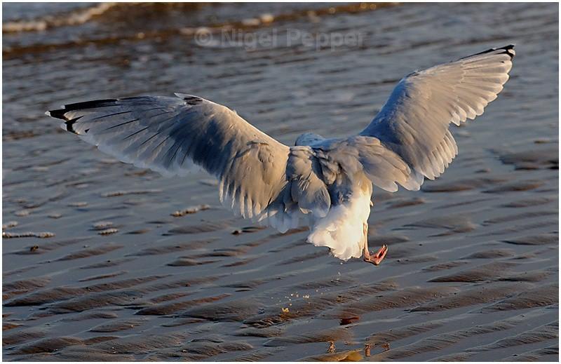 September 19th 2008 - Leggy the Herring Gull