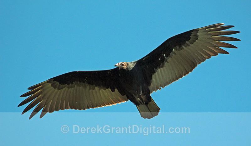 Turkey Vulture (juvenile) in flight - Birds of Atlantic Canada