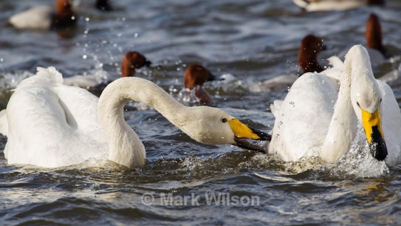 Whooper Swan - Swans, Geese & Ducks