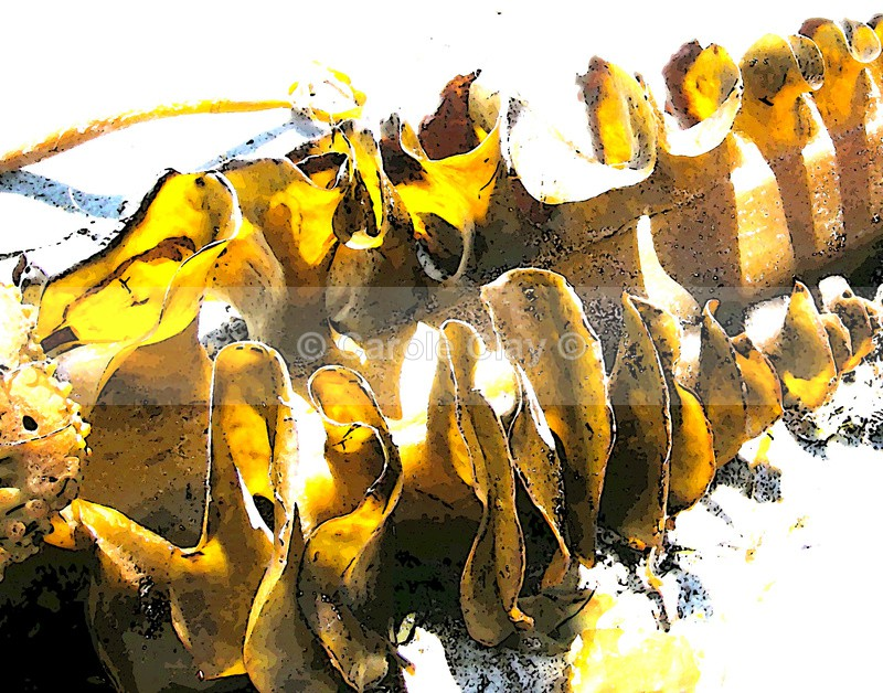 Spiral seaweed 1 - Seaside Themes