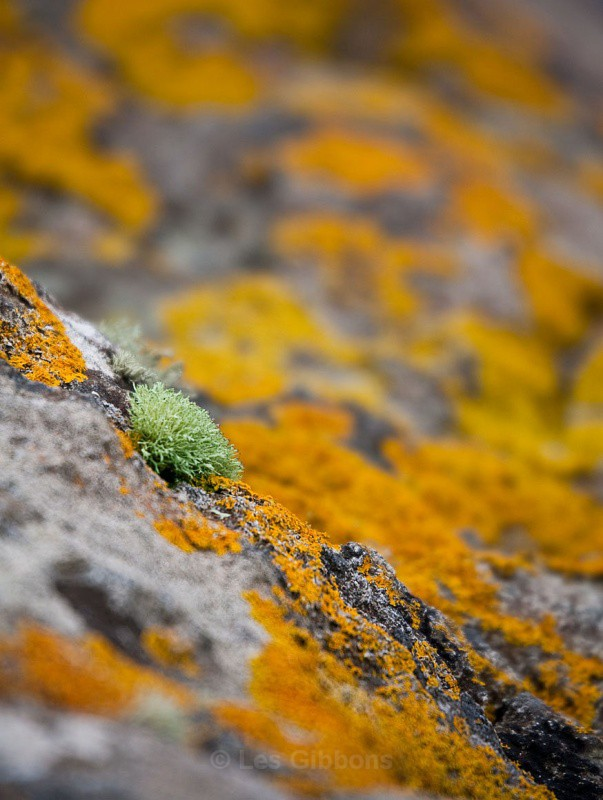 lichen - Highlands and Islands