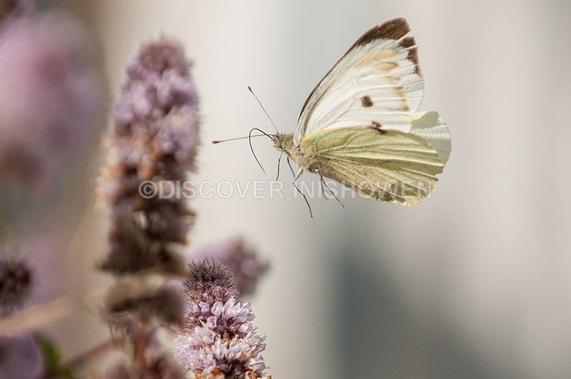 Large White - Wildlife