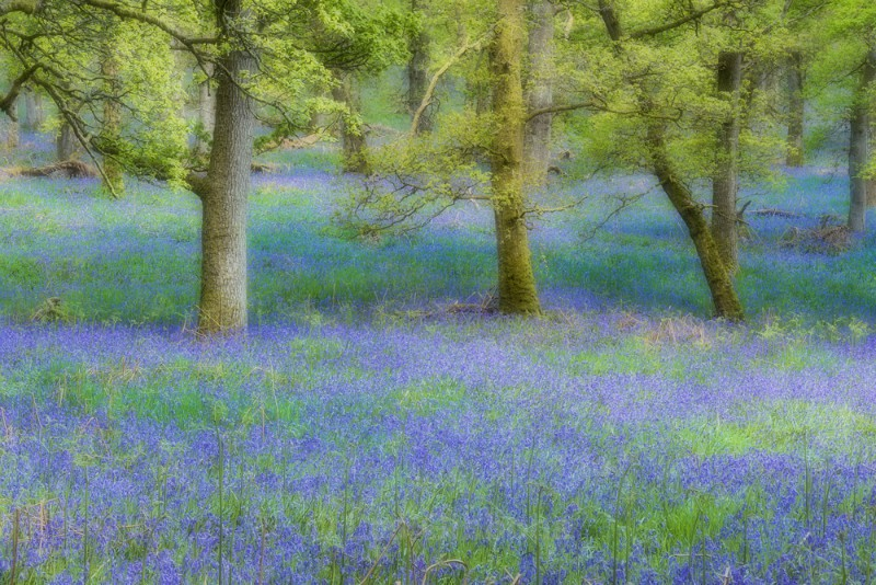 spring woodland - Perthshire