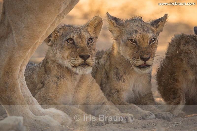 Beautiful Childhood - Lion