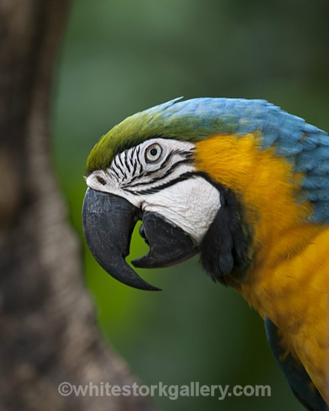 Blue and Yellow Macaw - Wildlife and Animals
