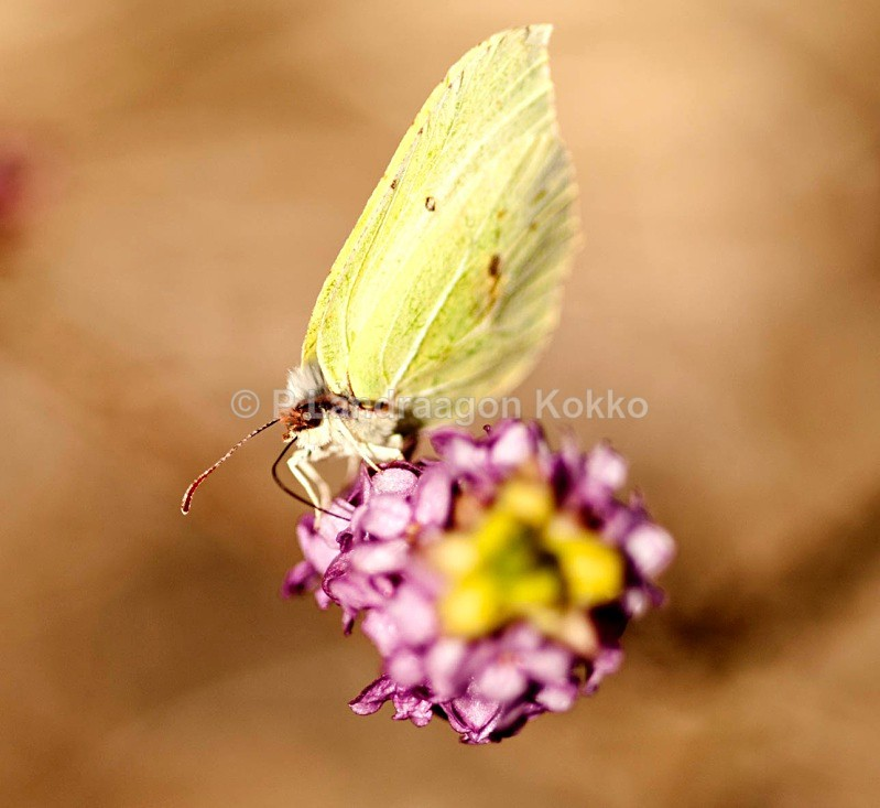 Butterfly on Daphne (Tibast), Sweden - New Images