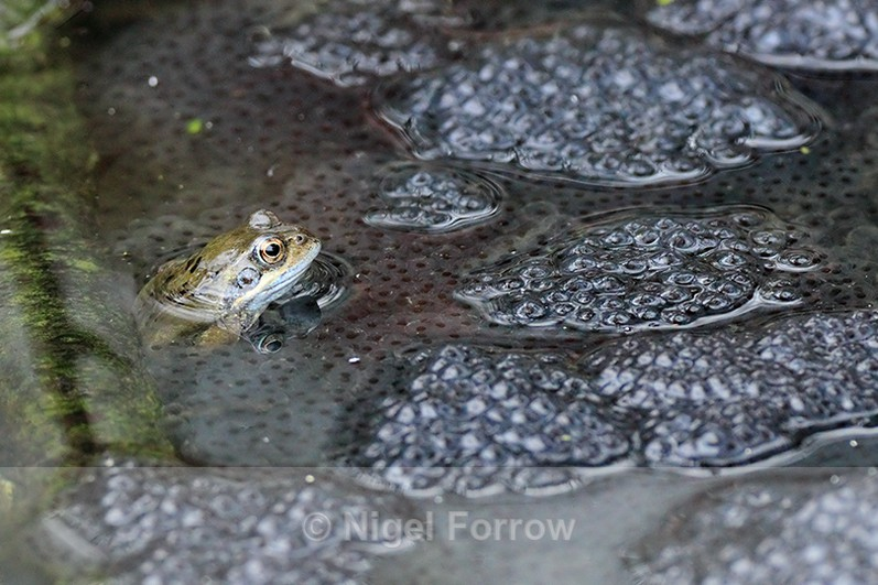 Common Frog watching over a mass of frogspawn at Otmoor - REPTILES & AMPHIBIANS