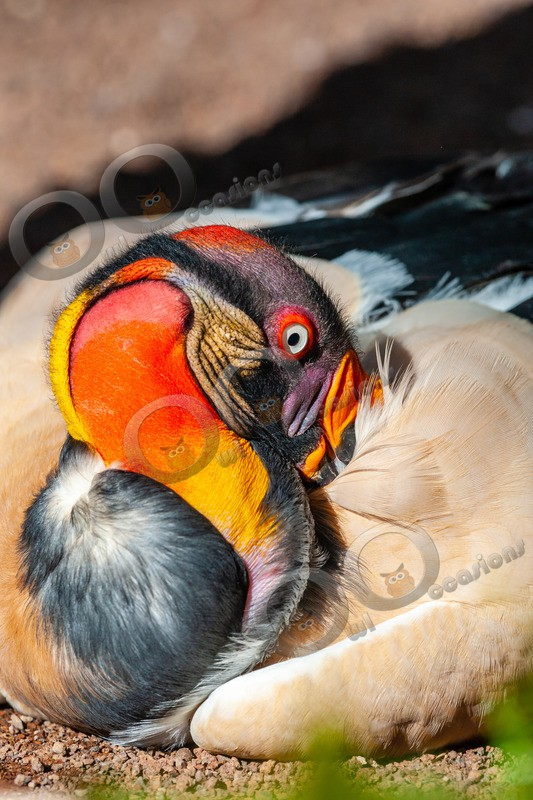 king vulture  sarcomamphus papa-1434 - BoP from around the world
