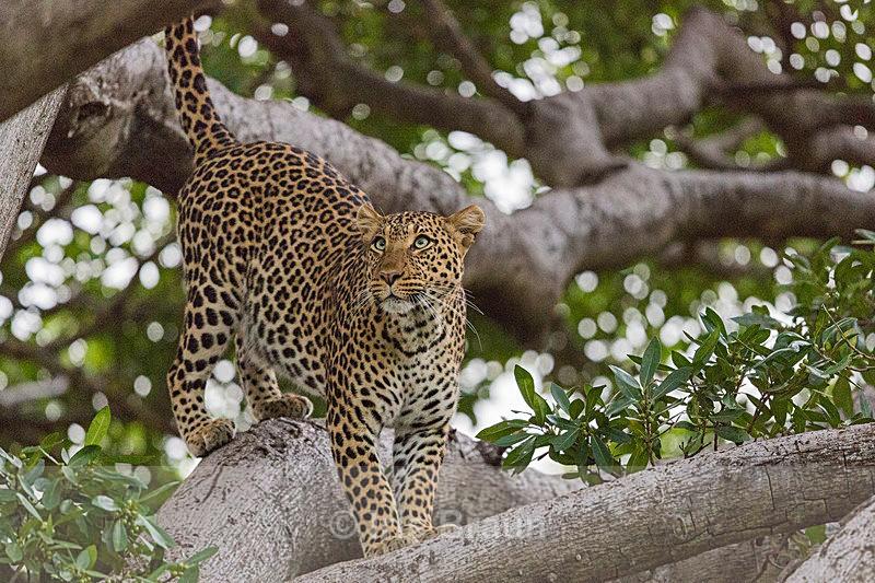 Bird Hunt - Leopard