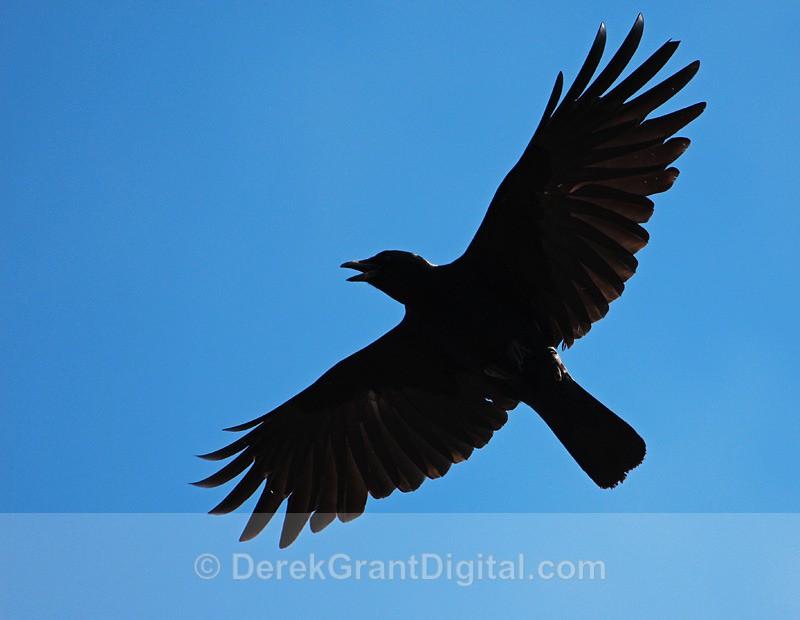 American Crow - Birds of Atlantic Canada