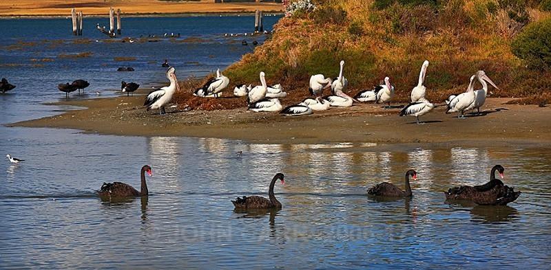 Birds of the Coorong.2-3215 - ANIMAL AND BIRD PHOTOS