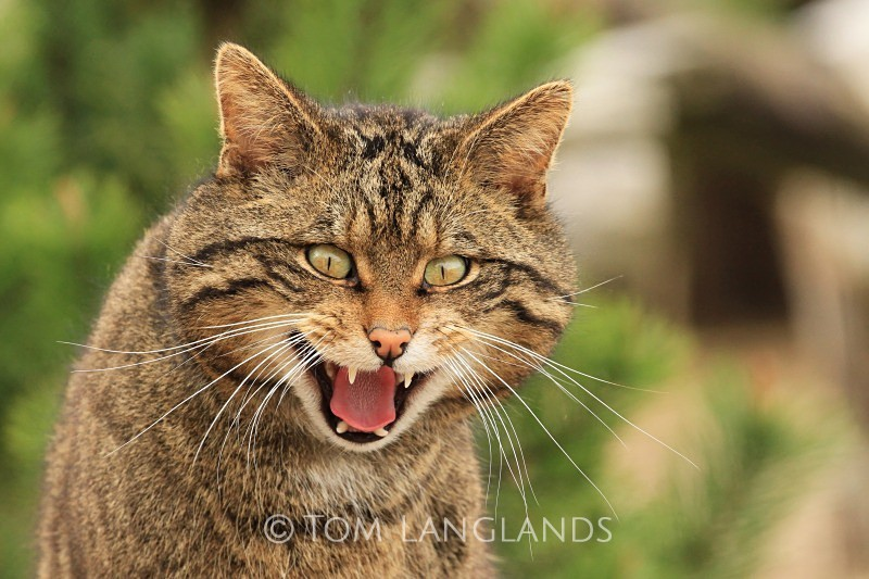 Scottish Wildcat - Scottish Wildcat