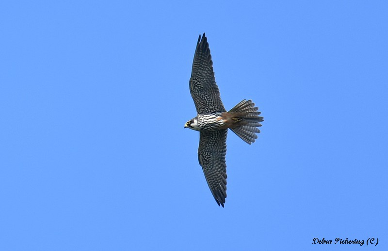 Hobby - Birds Of Prey