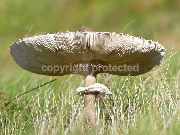 Dapperling Fungi (© Bill & Pat Cooper) - Bradgate Park - Customer Images